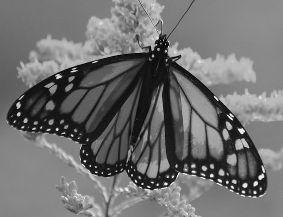 Monarch Butterfly Natural Beauty - Fine Art Photograph - Black and White Home Decor - 8x10