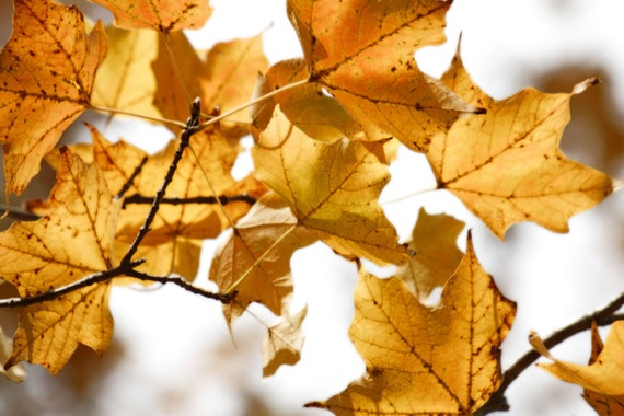 Yellow Autumn Leaves - Fine Art Photograph - Gold, Nature, Fall, Photography