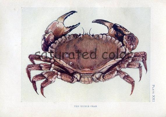 1910 Crab - Sea Life - Vintage Bookplate Print - Antique Crab Print - Beach Ocean Seashore - Plate 21