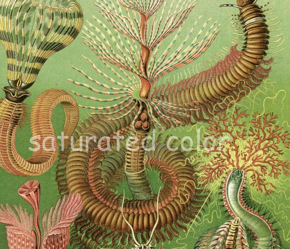 Spiny Worms - Sea Life - Vintage Scientific Lithograph Print - Ernst Haeckel - 1980s
