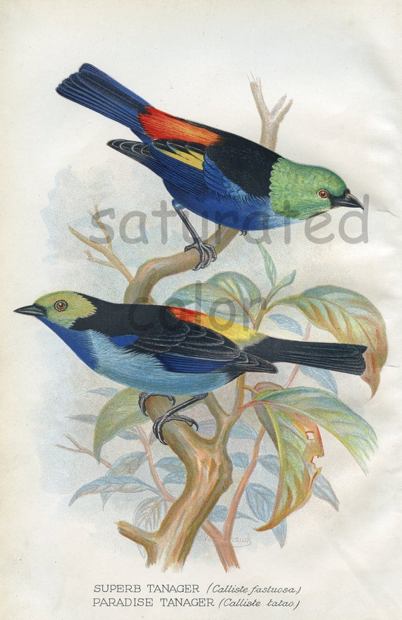 Antique Bird Print - Superb Tanager - Paradise Tanager - 1899 Vintage Bird Print - Natural History - F W Frohawk - blue green orange yellow