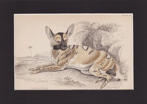 """Wild Animal Print  RARE Antique 1840 Wildlife Print """"PAINTED LYCAON"""" by Lizars  Book Plate"""