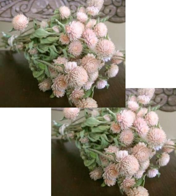 SALE  2 Bunches of Natural Dried light pink Globe Amaranth Flowers  Prim Shabby Cottage Wedding Floral Decor
