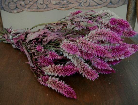 All Natural Dried Flowers Pastel Bi-color Wheat Celosia   Craft Decor Prim Floral