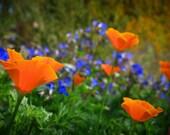 Poppin' Poppies Photo Print