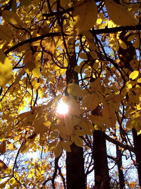 Sunlit Tree, Yellow Leaves, Summer Colors, Sunshine, Sunlight , 8 x 10  Fine Art Photo