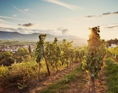 Vineyards at sunset near Obernai, Alsace, France,  Fine Art Photograph - Square Format