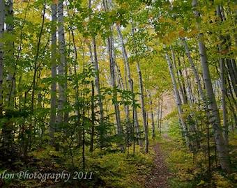 Foot trail through birch trees color print