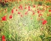Field of Orange Red Poppies - Pompeii, Italy 5x5 print