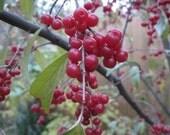 Artisan Autumn Olive (berry-fruit) jam