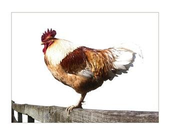 Rooster Signed/Numbered Digital Print