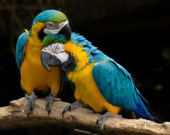 Photograph Parrots Birds Cuddle, Kiss, Romance,  Unmatted Fine Art multiple sizes available