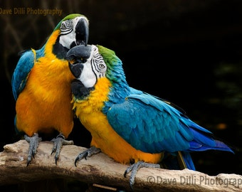 Colorful Parrots Playing, Biting, Un-Matted Fine Art Photograph, multiple sizes available