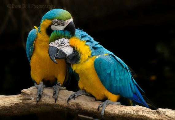 Photograph Parrots Birds Cuddle, Kiss, Romance,  Unmatted Fine Art multiple sizes available