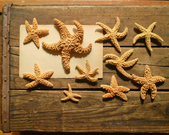 Knobby Starfish Specimens - Lot of 10 from a Vintage Natural History Collection