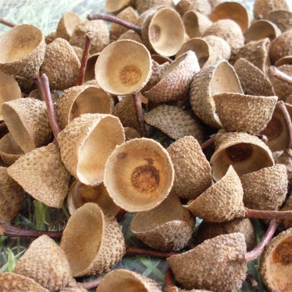Acorn caps chestnut oak choice of size natural by cushmandoo2 - Acorn and chestnut crafts ...