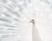 White Peacock 5x5 Photo Print
