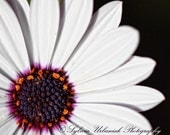 Macro Photography Flower Photography Nature Photography Modern Art Minimal White daisy Purple Spring flower  Fine Art Photography Print