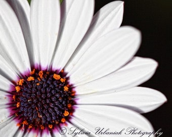 Macro Photography Flower Photography Nature Photography Modern Art Minimal White daisy Purple Spring flower  Fine Art Photography Print