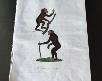 1860's Hand Colored Engravings (Chimpanzees)