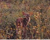 Nature Photograph, White-tail Fawn, Fine Art Photography, 5x7 or 8x10 Color Print, Chiricahua National Monument, Arizonq, Deer, Wall Decor