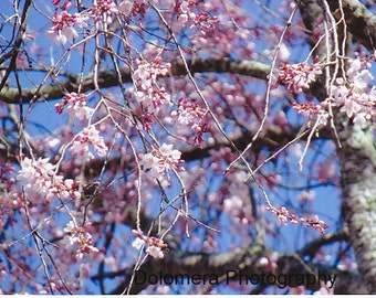 Nature Photograph, A Touch of Pink Grace, Fine Art Photography, 5x7 or 8x10 Color Print, North Carolina Weeping Cherry Tree, Flowers, Gift