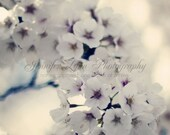 flower photography white gray grey violet ivory cream yellow / IN STOCK / 8x10 Fine Art Photograph / Washington DC / Cherry Blossoms n.4