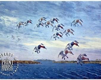 Bird, vintage print, Canvasbacks by Louis Agassiz Fuertes