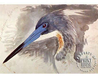 Bird, vintage print, Heron by Louis Agassiz Fuertes