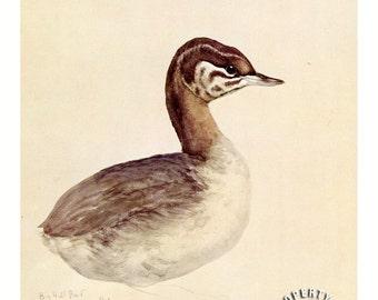 Bird, Vintage Horned Grebe by Louis Agassiz Fuertes
