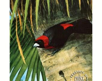 Bird, Vintage Tanager, Louis Agassiz Fuertes