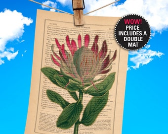 """Flower Book Print, Botanical Illustration, Protea Compacta, Sugarbush, printed on an 1865 Shakespeare Antique Book Page, """"MAT-INCLUDED"""""""