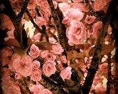 Cherry Blossoms in the Spring - 8x8 Fine Art Photograph.  Cherry blossom tree, light soft pink blooms on a spring day in Paris, photography