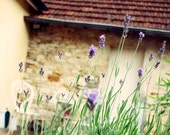 lavender photo, provence, south of france, country chic, shabby chic, cottage, honey, purple, lavender, country, 8x10 Photo