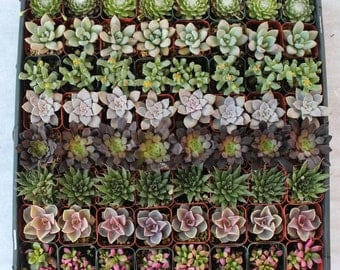 160 collection of Lovely Succulents  Wedding Party Gift Favors in their plastic 2 inch Pots sempervivums rosettes