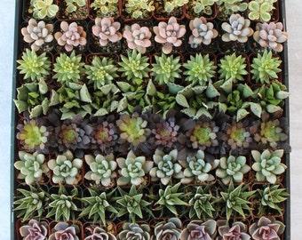 145  Beautiful Wedding Favor Collection Succulents succulent plants