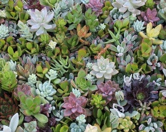 25 BEAUTIFUL Assorted SUCCULENT CUTTINGS perfect for wall gardens wreaths and topiaries Succulents  echeverias