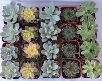 "SAMPLE 4 Beautiful 2"" Succulent plants Collection plastic pots succulents great for gifts & WEDDING FAVORS+"
