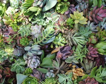 40 BEAUTIFUL Assorted SUCCULENT CUTTINGS perfect for wall gardens wreaths and topiaries Succulents  echeverias