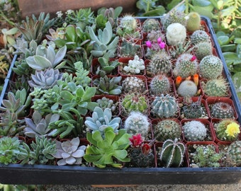 6 Succulent & Cactus Collection  Awesome for Party or Wedding Favors and Gifts succulents plants lot~