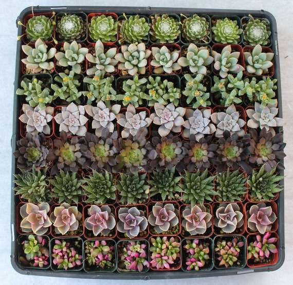 RESERVED for JESSICA 160 collection of Lovely Succulents