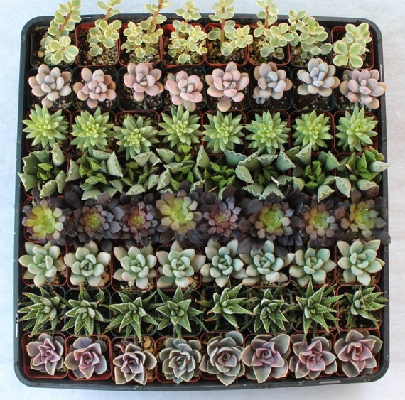 "Reserved  130   Beautiful Wedding Favor Collection Succulents plants in 2"" pots"