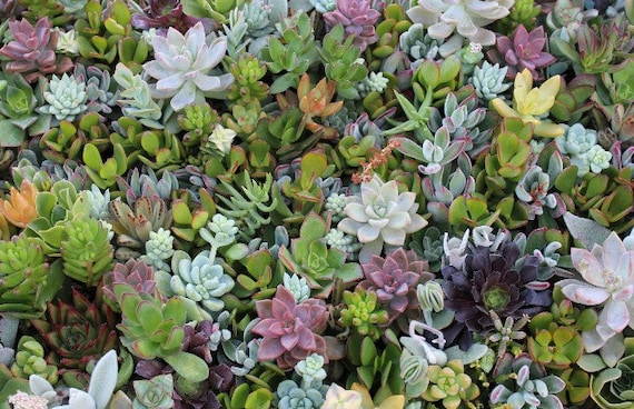 50 BEAUTIFUL Assorted SUCCULENT CUTTINGS perfect for wall gardens wreaths and topiaries Succulents  echeverias