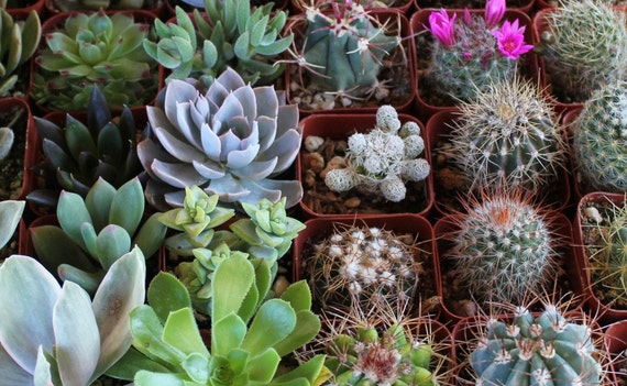 NINE (9) Succulent & Cactus Collection  Awesome for Party or Wedding Favors and Gifts succulents table decor favor