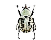 Dynastes Granti Beetle - Archival Print