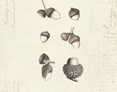 "Vintage Oak Acorns ""Les Glands De Cheme"" on French Ephemera Print 8x10 P29"