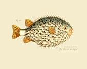 """Vintage Fish """"Der Rounde Stachelfish"""" Print 8x10 P187"""