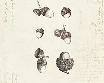 """Vintage Oak Acorns """"Les Glands De Cheme"""" on French Ephemera Print 8x10 P29"""