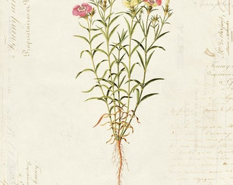 "Vintage Botanical Flower ""Dianthus Causasicus"" on French Ephemera Print 8x10 P33"