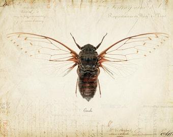 Vintage Cicada on French Ephemera Print 8x10 P55